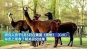 【比利时:保护作用只能持续1-2个月】5月6日,《纽约时报》报道称比利时科学家研究发现羊驼产生的2种抗体可消灭新冠病毒,且羊驼的抗体可与人类...