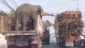 大象:这甘蔗多少钱一斤啊