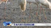 广东江门:广东省内首次观测到白鹤