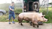 广东梅州有一条听话猪,可以听主人使唤干活,真聪明