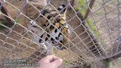 【大猫德里克】日常看大猫547期