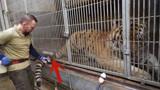 你知道如何给老虎抽血吗?原来要演这么戏,镜头拍下搞笑瞬间!