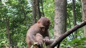 2019-06-28,湖南张家界武陵源风景区 猴子。