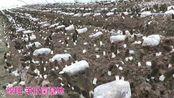 四川省绵阳市食用菌研究所,学员在绵阳的200亩羊肚菌基地喜获丰收