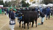 一头牛168万人民币!日本拍出天价松坂牛,到底能用来干什么?