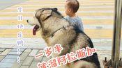 VLOG不知道多少|跟我一起遛狗吧|狗子两岁生日|自制狗狗蛋糕|孕期回忆|儿子和阿拉斯加的日常