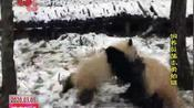 萌翻了 秦岭大熊猫雪中撒欢儿