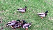 公园一群野鸭疯狂攻击普通鸭妈妈!鸭子幼崽抱团不敢乱动