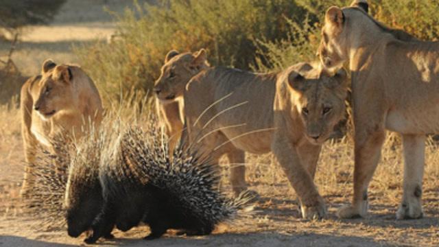 豪猪真是太厉害了,狮子都不是他对手,狮子看到豪猪直接怂了
