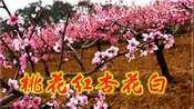 一曲《桃花红杏花白》唱出了美好的爱情,甜美嗓音引人入胜