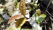 天然植物【岜马源金花茶】 隙外望,只—在线播放—优酷网,视频高清在线观看