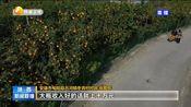 [陕西新闻联播]安康旬阳:千亩狮头柑成熟 点缀汉江沿岸