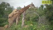 动物世界:狮子猎杀长颈鹿,面对大长腿,狮子会有怎样的结局呢?