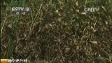 [第一时间]救灾进行时 安徽亳州:干旱致中药材损失严重 产量或下降一半