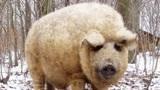 猪和绵羊杂交会生下什么?现如今已经灭绝,看过之后不敢相信!