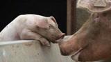 母猪体温到了37度,养猪人该怎么做?还能治好吗?