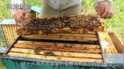 你见过这样取蜂蜜吗?从一大堆蜜蜂嘴里抢蜂蜜,还不戴防护手套哦