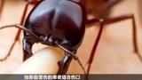 蚂蚁还能帮人缝合伤口?视频还原全过程,看完大开眼界!