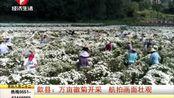 歙县:万亩徽菊开采 航拍画面壮观