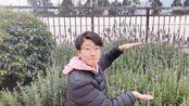 在昆明的这个冬季,浪漫的薰衣草可以成为云南农业大学的一张名片
