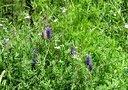 四合乡水库边的穗状紫色花开了!2014年7月6日00176