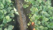 青岛平度甜宝草莓