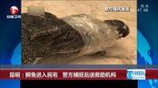 [超级新闻场]昆明:鳄鱼进入民宅 警方捕捉后送救助机构