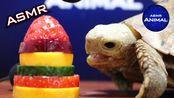 【my Animal】龟果助眠吃听起来很可爱龟助动物助眠(2020年1月11日14时46分)