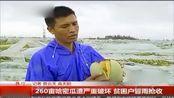 昌江:260亩哈密瓜遭严重破坏 贫困户冒雨抢收.