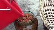 广西南宁市邕宁区,几乎每家每户都要腌制酸梅,美女是这样腌的
