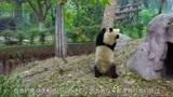 熊猫剧场:熊猫妹妹好心前来告密,俩哥哥不相信,竟然爬的更高了