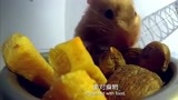 小仓鼠搬运食物,它在小小的肚子能塞下这么多东西!