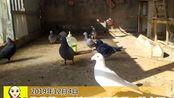 停药第二天鸽子粪便也正常了,天落开始跟其他母鸽求偶了