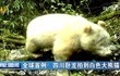 全球首例!四川卧龙拍到白色大熊猫