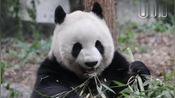 萌萌:好像换了新的竹子品种,可以扛着吃,别客气,多吃点