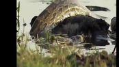 超级大蟒蛇生吞鳄鱼, 却被平头哥捡了便宜, 活活吃了一晚上才死