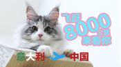 缅因猫从意大利来中国,飞行了8000公里,过海关需要哪些手续呢?