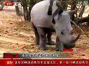 视频: 野生犀牛遭灭顶之灾 近600头在南非被猎杀 121129 午间新闻