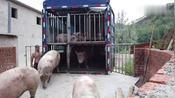 土杂猪价格暴涨,迎来历史最高猪价,抽血化验,猪贩子难做喽!