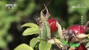 奥尔西尼蝰蛇体型不大,即便青蛙与老鼠这样猎物都显得太大