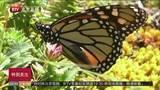 帝王蝶迁徙抵达墨西哥中部