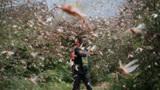 4000亿蝗虫抵达印巴,一天吃光3.5万人口粮,6月后或猛增400倍