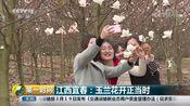 [第一时间]江西宜春:玉兰花开正当时
