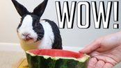 【OneMorePlease】吃兔子的西瓜(2019年10月8日5时26分)