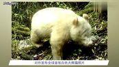 全球首例:四川卧龙发现白色大熊猫!