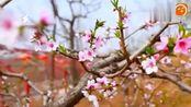 衡水深州桃花节,盛产水蜜桃大甜桃的地方