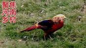 三门峡的山坳里养了100只红腹锦鸡,最漂亮的是公鸡,美如凤凰鸟