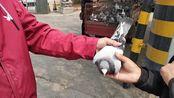 集市上农村小伙买一只9年的鸽子,花了多少钱?鸽友前来鉴定真假