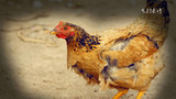 一只鸡为爱献身的故事,动物都如此爱情,更何况人呢