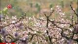[贵州新闻联播]简讯:黔西南州顶效镇:万亩桃花迎春开放